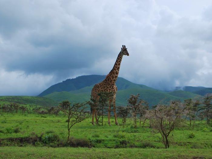 Жираф в Национальном парке Серенгети