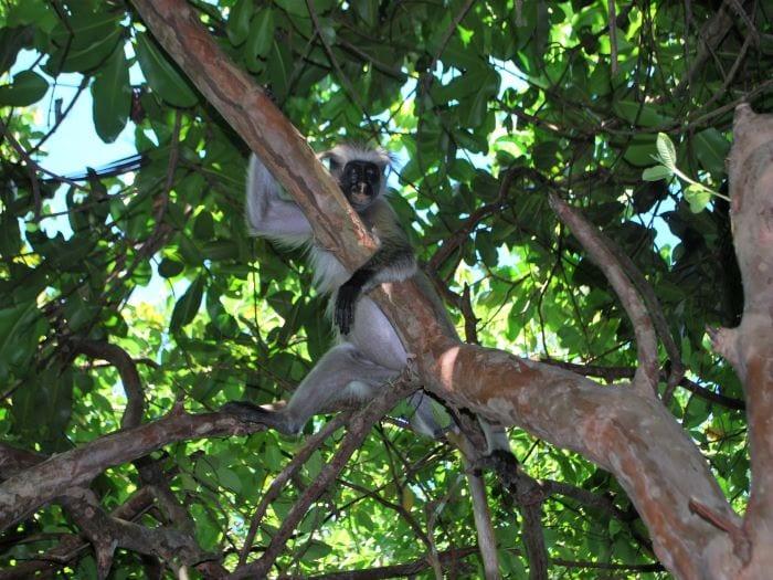 Колобус на Занзибаре