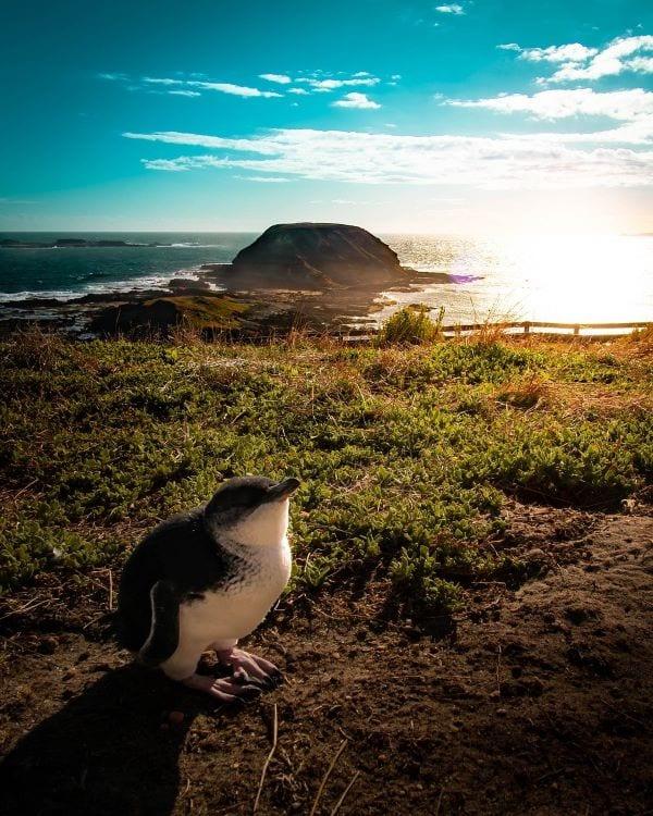 Пингвин на Острове Филиппа