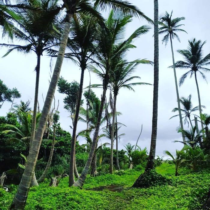 Пальмы, Доминика