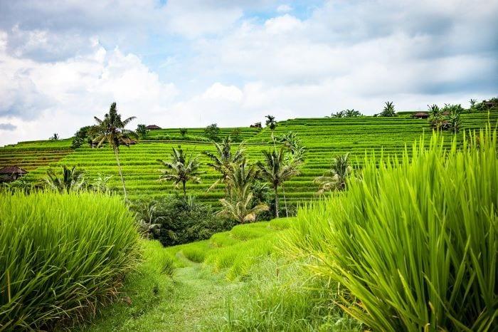 Рисовые террасы Бали, Индонезия