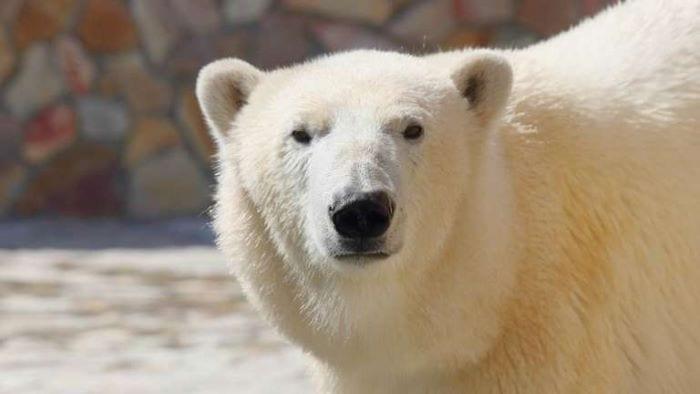 Белый медведь в Ленинградском зоопарке