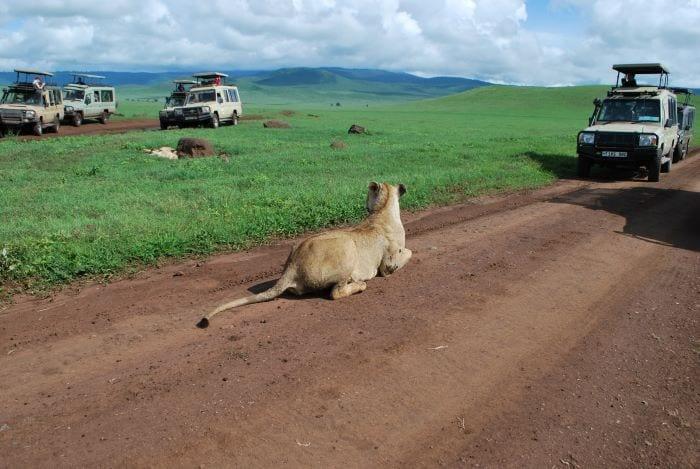 Лев на сафари