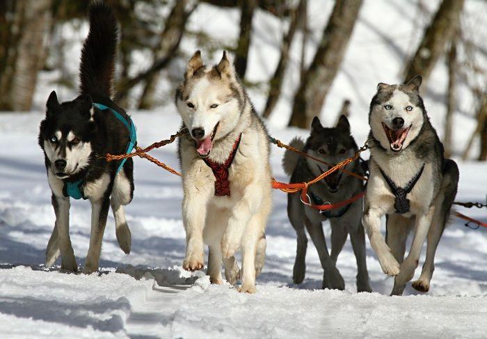 Карелия зимой собачьи упряжки